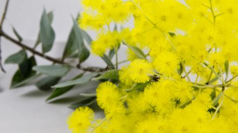 wattle picture
